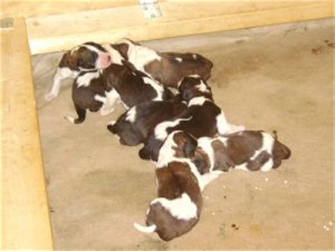 bernard puppies for sale in pa bernard puppies for sale