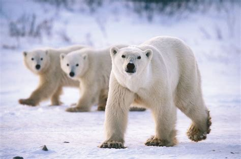 the polar bear beautiful wallpapers june 2013