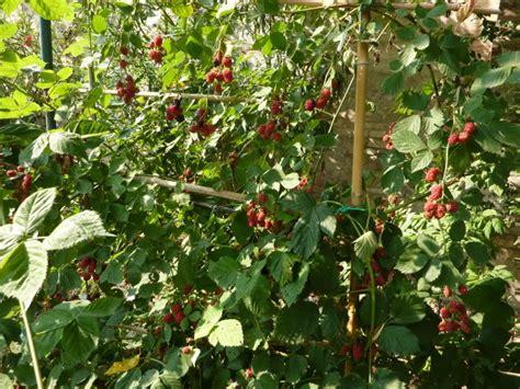 coltivare more in vaso coltivare more in giardino garden4us