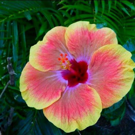 imagenes flores impresionantes hibiscus impresionante gama de colores plantas
