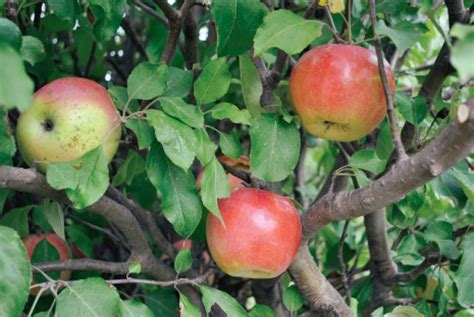 apple zone ben davis apple apple trees stark bro s