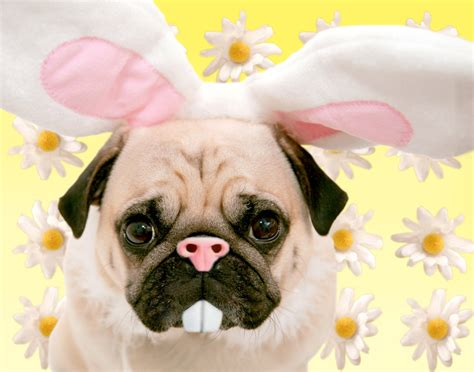 happy easter pug happy easter pugminded