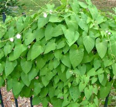 climbing plant leaf identification bell vine identification brisbane city council