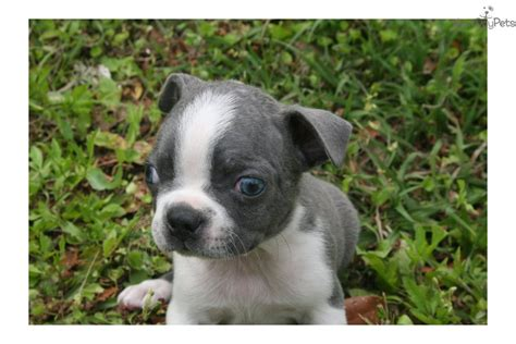 free boston terrier puppies in florida pomsky puppies for sale in dc breeds picture