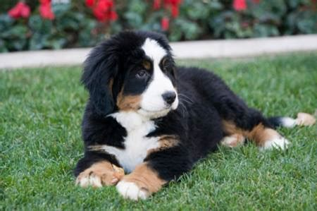 bernese mountain temperament bernese mountain history and health