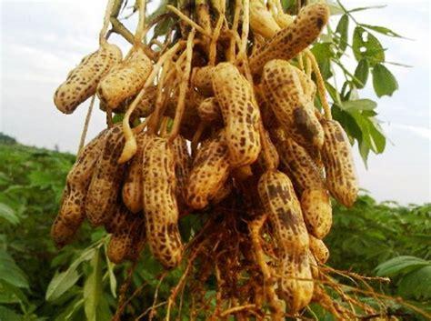 Tanaman Sayuran Dan Bumbu Oregano cara menanam kacang tanah di polybag atau pot bibitbunga