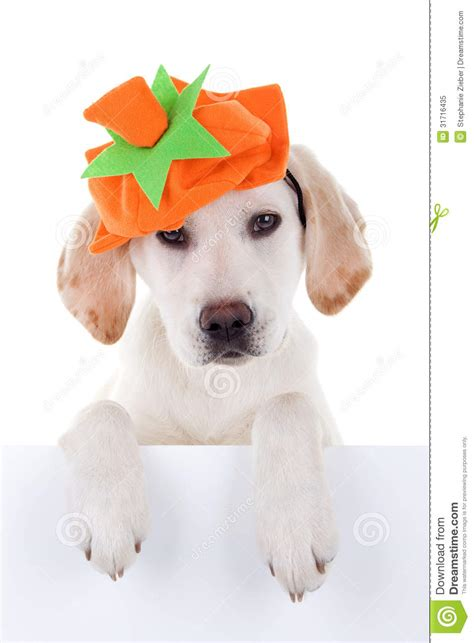 thanksgiving puppy thanksgiving royalty free stock photo image 31716435
