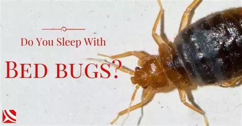 can bed bugs get in your ear simon berenyi quora