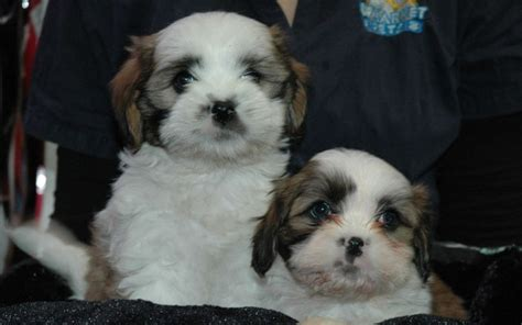 cavalier cross shih tzu cavalier king charles cross shih tzu for elizabeth