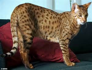 leopard cat animal wildlife