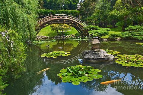 koi pond bridge zen japanese garden with moon bridge and lotus pond with