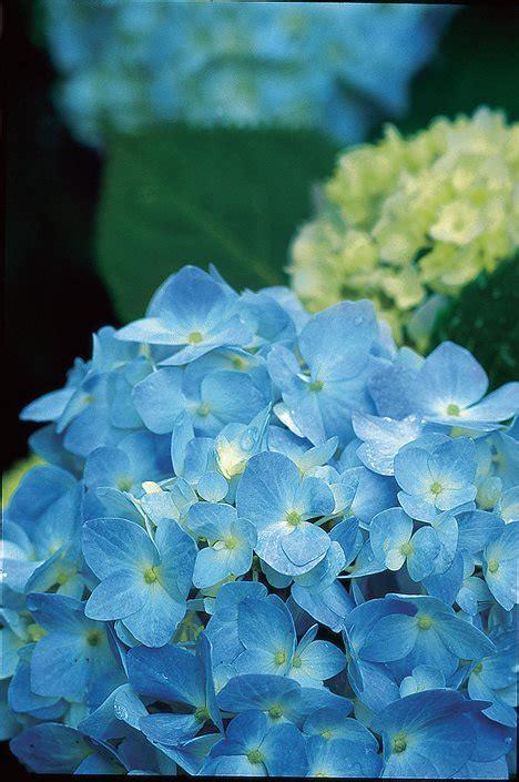 Hydrangea Macrophylla Endless Summer 4457 by How To Grow Care For Hydrangeas Garden Design