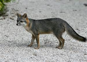 california gray fox seasons laws and locations