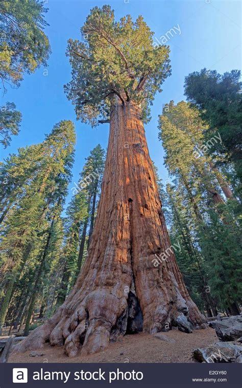 general sherman tree sequoia national park in california united states california sequoia national park general