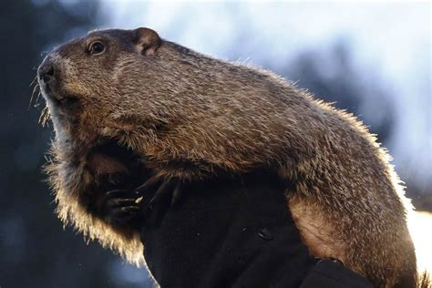groundhog day best pv groundhog day punxsutawney phil predicts early