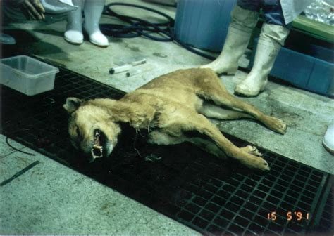 vivi section afc vivisection sadistic scandal