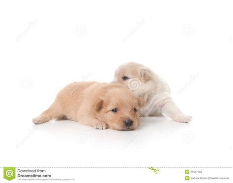 colored pomeranian puppies and white colored pomeranian newborn puppies stock photo image 11697760