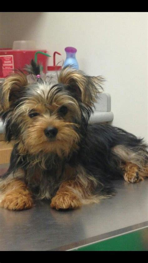 male yorkie haircuts hairstyles for male yorkies yorkie haircuts male