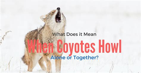 what does it when a howls what does it when coyotes howl alone or together