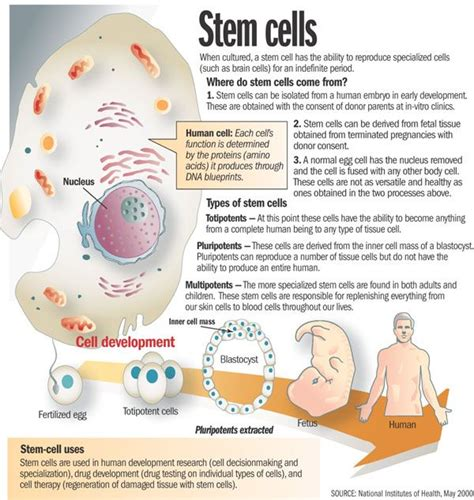 stem cells 25 best ideas about stem cells on pinterest stem cell