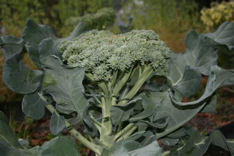 easy to grow bloominthyme how to grow broccoli and cauliflower an easy guide for