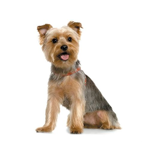 how to groom a yorkie puppy cut terrier yorkie grooming how to groom ebay