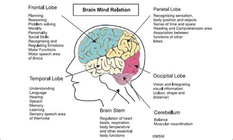 sections of the brain and their functions parts of the brain and their functions bing images