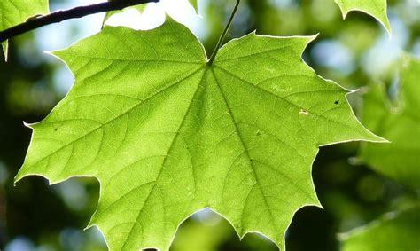imagenes hojas de sen različiti oblici listova biljaka profil klett