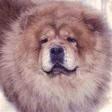 Chow Chow Shedding by Diy Grooming Tips By Breed Petcarerx