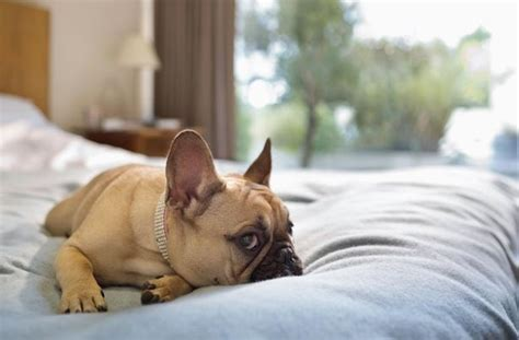 dog on bed 6 feng shui tips to make your home your pup s happy place