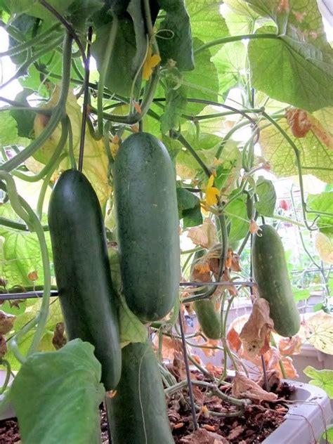 cucumber container gardening container gardening for cucumbers gardening guru