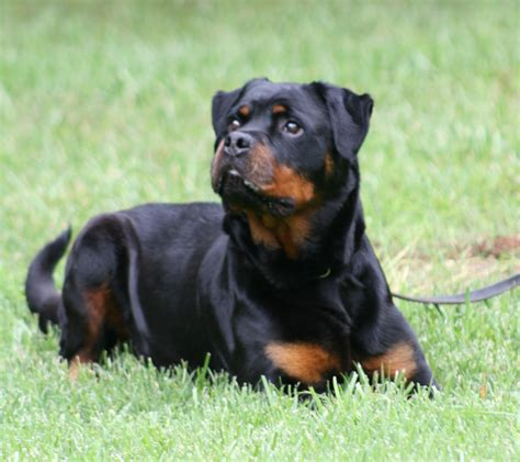 german rottweiler colors vom vollenhaus rottweilers german rottweiler breeder located in nebraska german