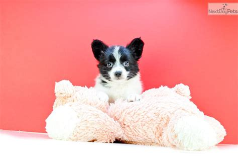 papillon puppies for sale in ohio teacup papillon puppies for sale breeds picture
