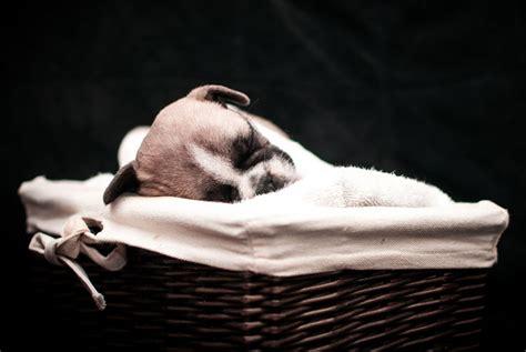 bulldog puppies cost articles bulldog puppy for sale bulldog for sale