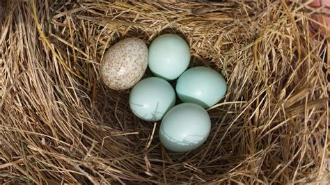 bluebird eggs color sialis picture of the week cowbird egg in eastern