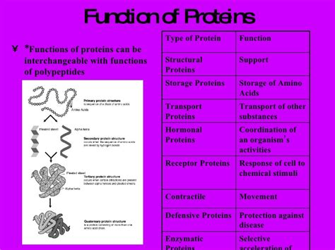 3 proteins and their functions protein powerpoint