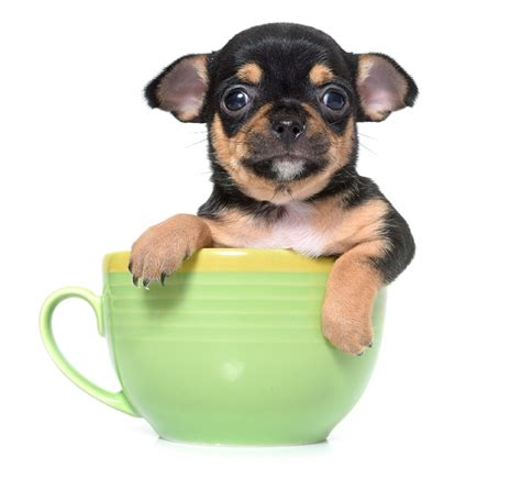 how much are teacup dogs teacup dogs the that kills diagnostic imaging systems