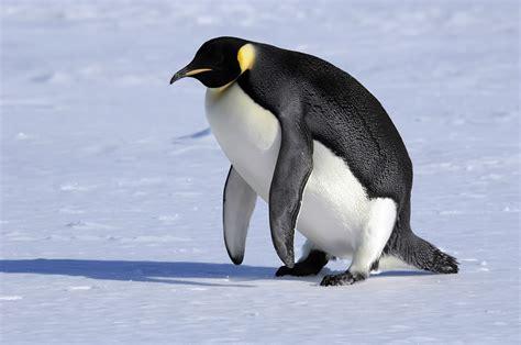Penguin S penguin habitat what do penguins eat
