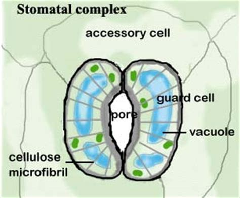 stomata diagram what is a stomata 2418648 meritnation