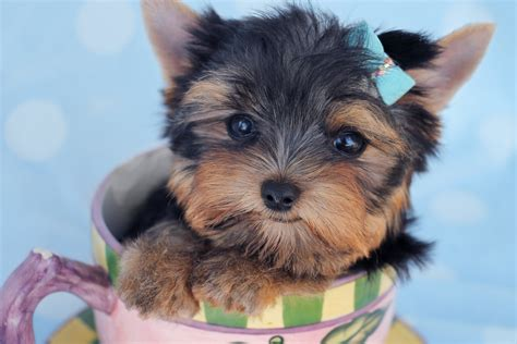 florida yorkie breeders teacup yorkie puppies for sale south florida teacups puppies boutique