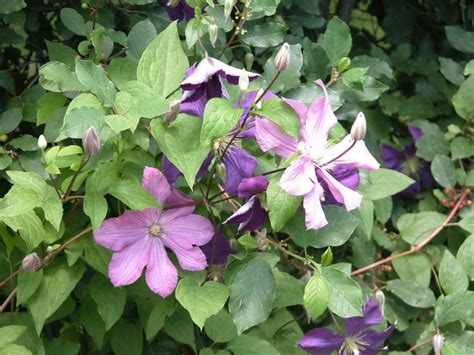 large flowered climbing plant top 6 strongest perennial flowering vines