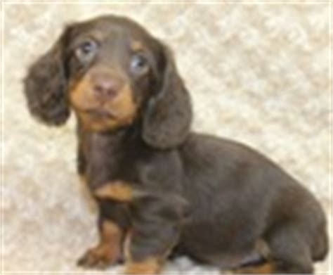 miniature dachshund puppies for sale in indiana miniature and standard dachshund puppies for sale miniature and standard dachshund