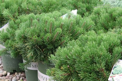 russell s photo gallery plants 187 shrubs evergreen