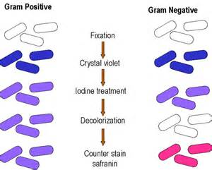 gram stain colors microbiology gram staining
