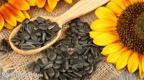 organic black sunflower seeds for chickens are high protein foods for chickens