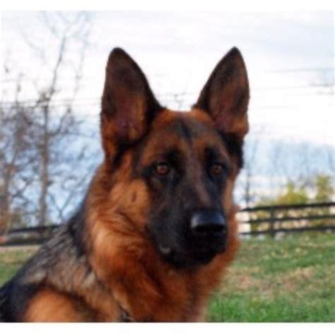 german shepherd puppies ky german shepherd gsd alsatian breeders in pennsylvania breeds picture