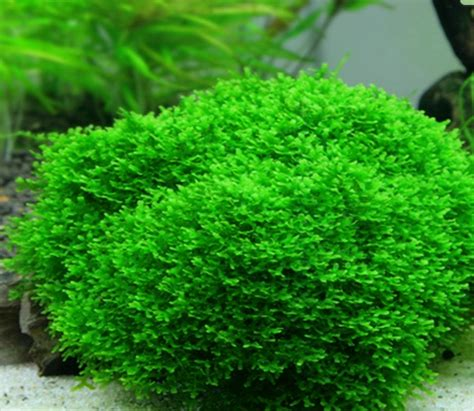 aquascape reddit what can replace java moss shrimptank