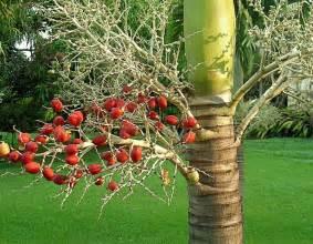 christmas palm tree care learn how to grow a christmas