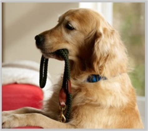 golden retriever varieties how to stop golden retriever barking 10 easy tips tested in 2016
