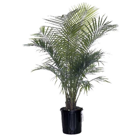 majesty palm rona
